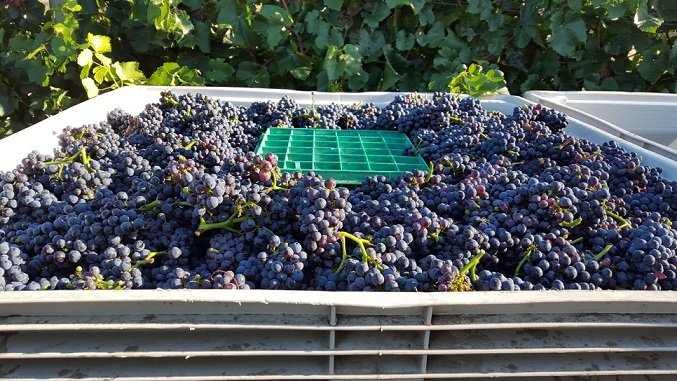 Pinot Noir grapes picked for sparkling wine